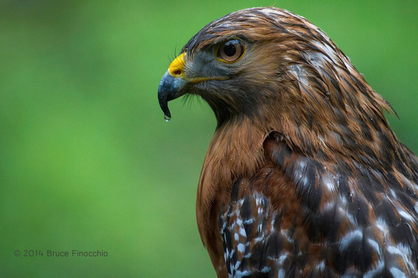 Red-Shoulder Hawk With Water Droplet On Beak by BruceFinocchio