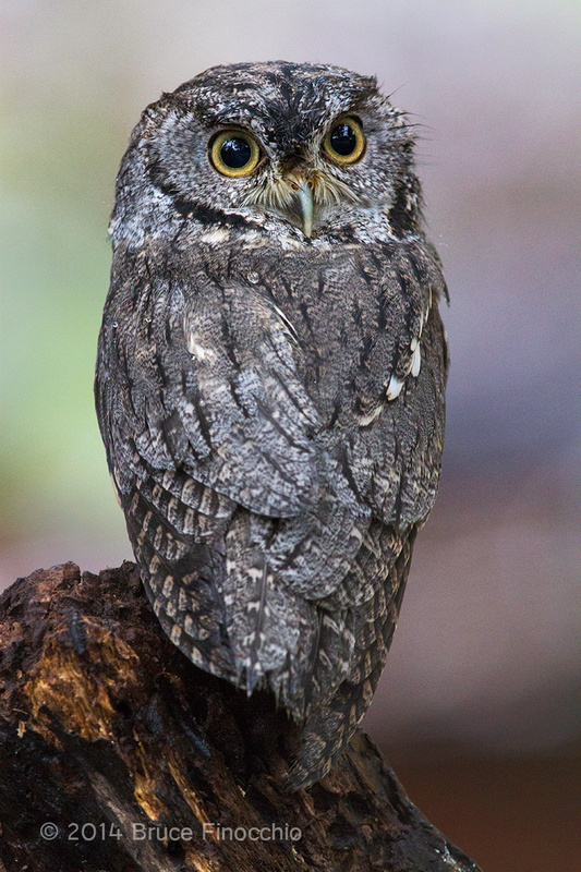 Screech Owl Looking Over Its Back