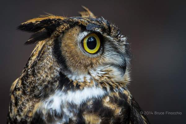 Side Profile Of A Great Horned Owl