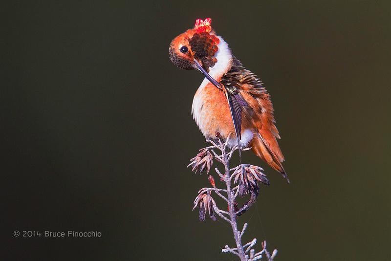 Male Allen's Hummingbird Preens Under Wing_BE09755D7c