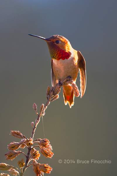 Male Allen's Hummingbird Ready For Flight_BE07536D7v1c