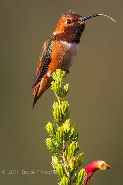 Male Allen's Hummingbird Sticks Out Long White Tongue_BE09832D7c