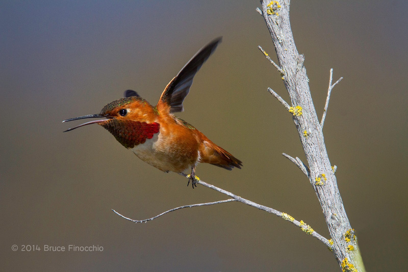 Male Allen's Hummingbird Takes Flight From A Branch_BE08506D7c