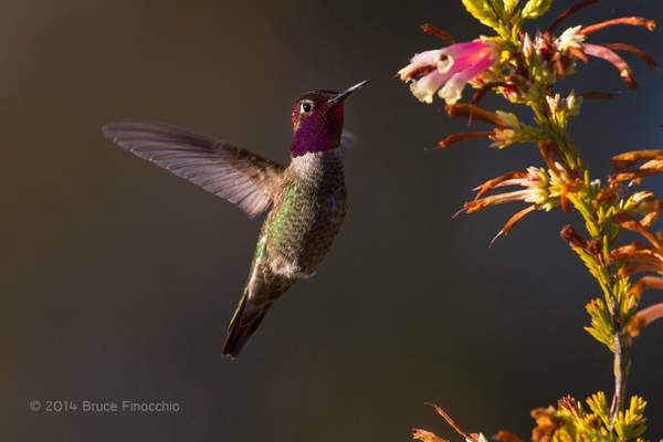 Male Anna's Hummingbird Hovers Near Nectar BE07672D7c
