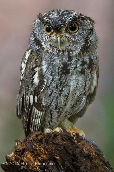 Western Screech Owl With Lady Bug by BruceFinocchio