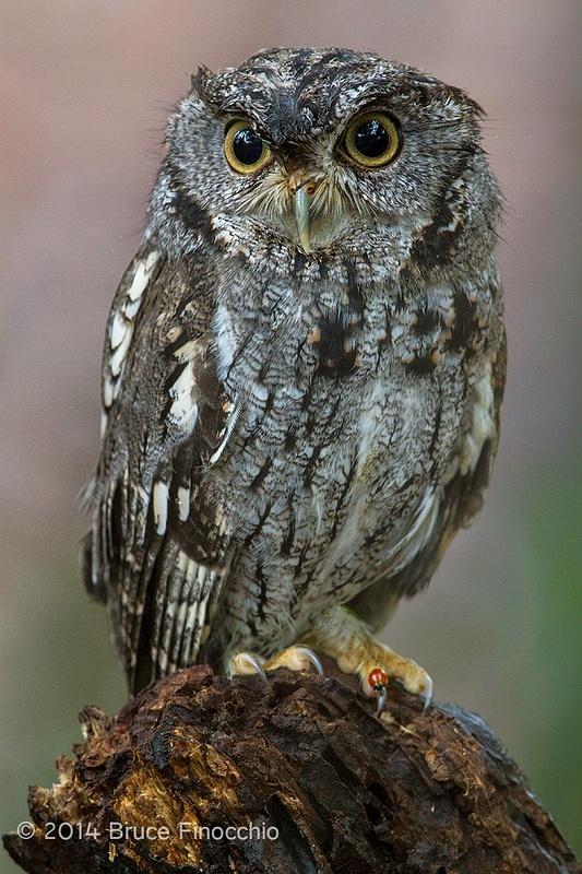 Western Screech Owl With Lady Bug