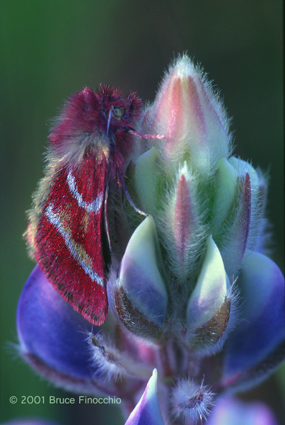 California Tent Moth Rests & Overnights on a Lupine Blossom v1c by BruceFinocchio