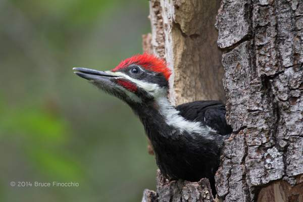Young Pileated Woodpecker Chick Gazes Out At A New World