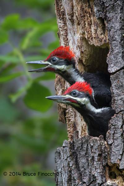 Pileated Woodpecker Chicks Looks Around For Parents
