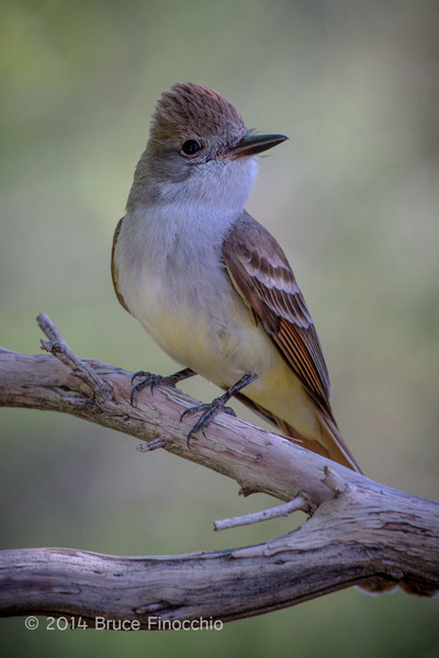Ash-throated Flycatcher Poses On A Dead Chamise Branch by BruceFinocchio