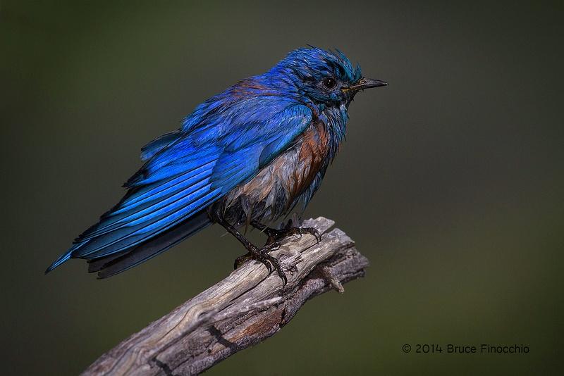 Blue Speaks For A Male Western Bluebird