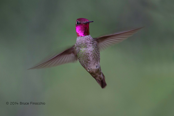 Gorget and Wings Flashing As A Male Anna's Hummingbird Hovers by BruceFinocchio