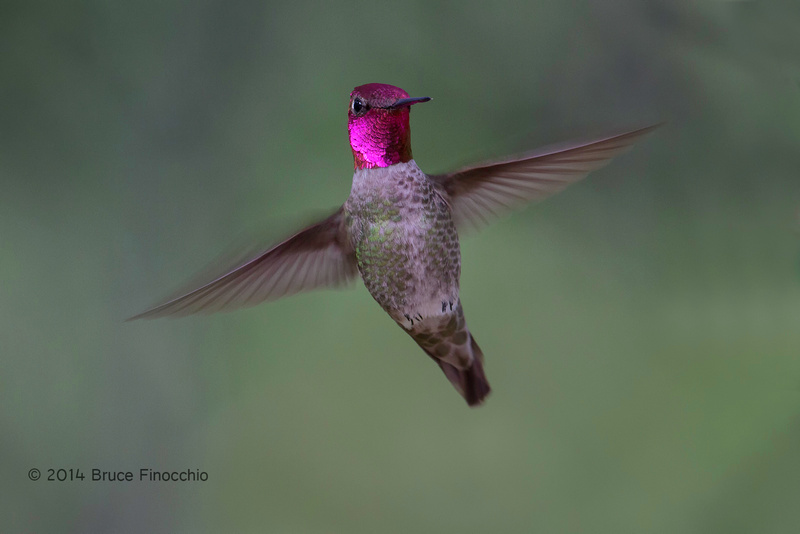 Gorget and Wings Flashing As A Male Anna's Hummingbird Hovers