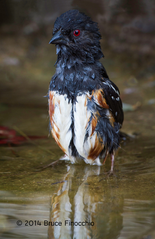 Male Spotted Towhee Alertly Stands Tall While Bathing_BE39263D7c