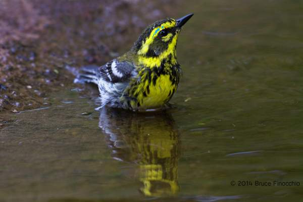 Male Townsend's Warbler Bathing with Reflection