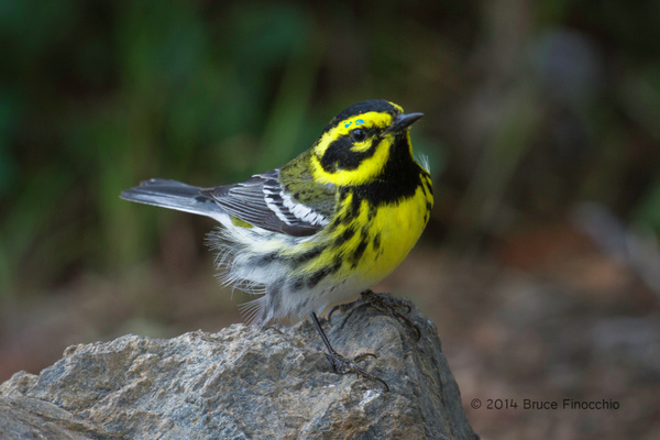Male Townsend's Warbler Perches On A Rock by...