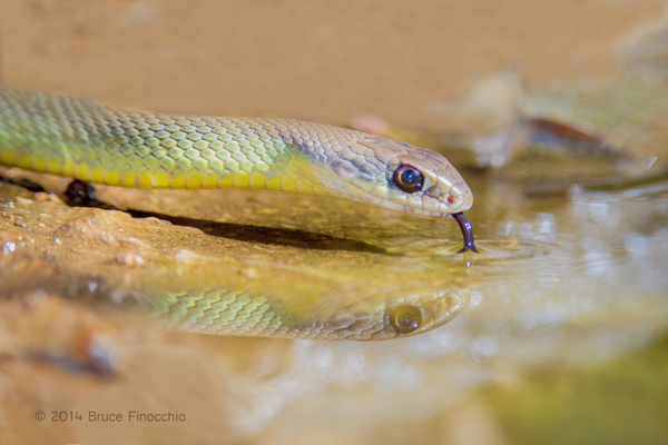 Western Yellow-bellied Racer Drinks From A Small Pool by...