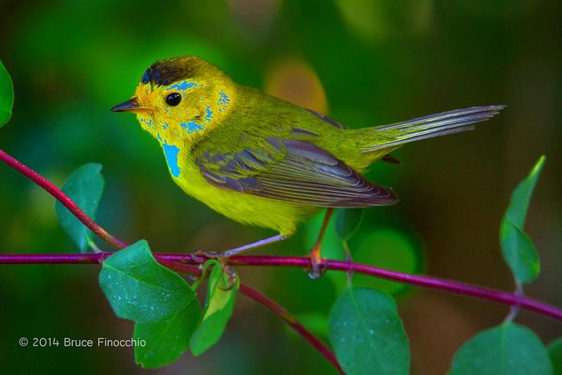 Wilson's Warbler On White Hawthrone Branch