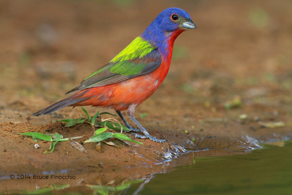 An Alert Male Painted Bunting Approaches Water by...