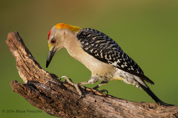 Male Golden-fronted Woodpecker Inspects Dead Old Branch...