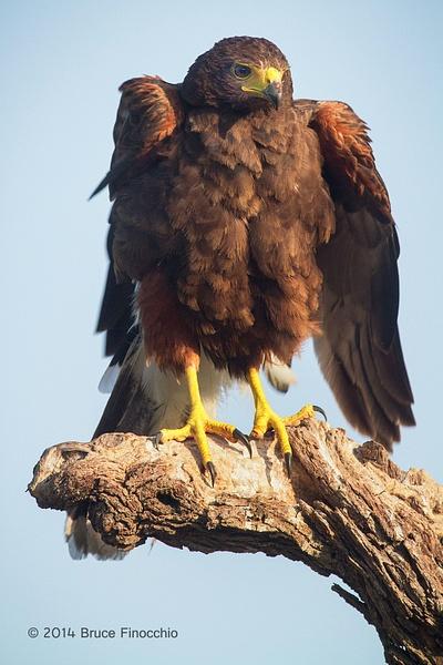 Harris Hawk Ruffles Feathers by BruceFinocchio