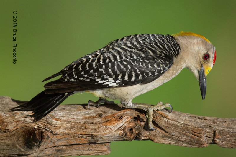 Male Golden-fronted Woodpecker Tightly Grips An Old Wooden Branch