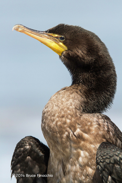 Double-crested Cormoramt Dries Out Feathers_ by...
