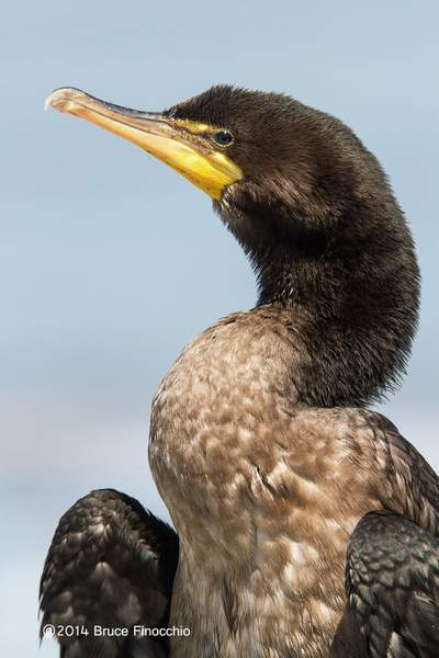 Double-crested Cormoramt Dries Out Feathers_