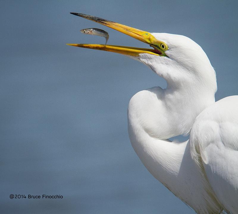Within The Egret's Beak
