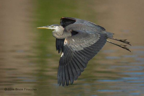 Young Great Blue Heron Flight_BE59314D7v1c by...
