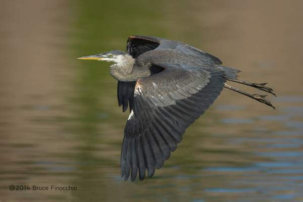Young Great Blue Heron Flight_BE59314D7v1c