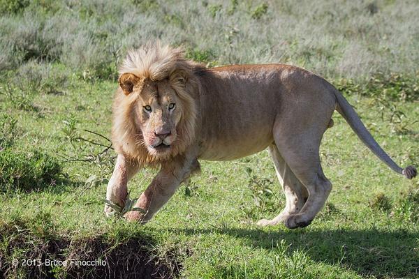 Male Lion Pivots Near An Arroyo by BruceFinocchio