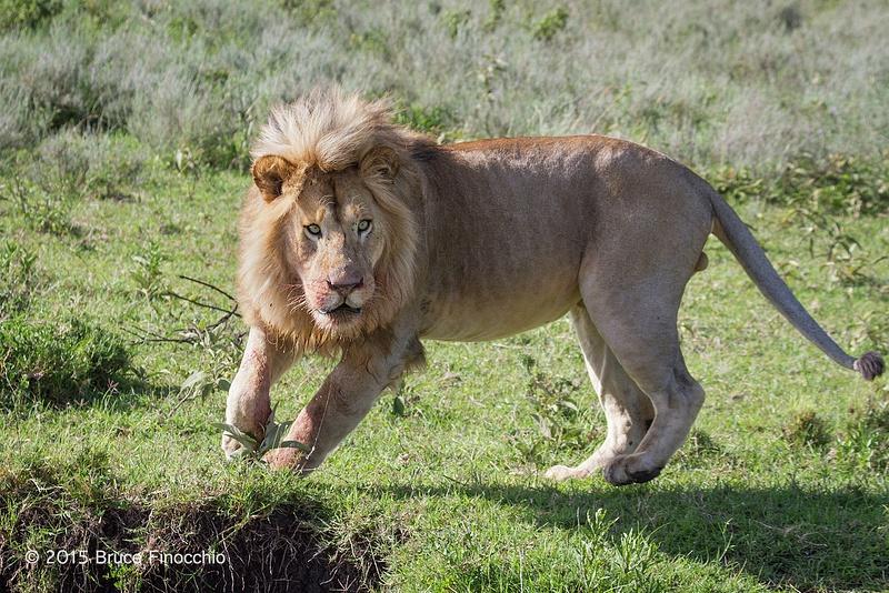 Male Lion Pivots Near An Arroyo