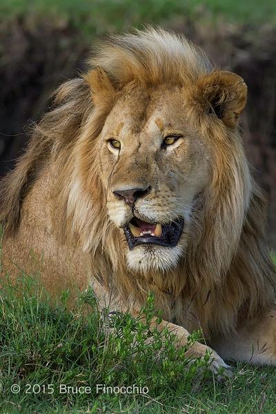 Male Lion Portrait by BruceFinocchio