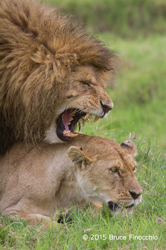Male Lion Snarls During The Mating