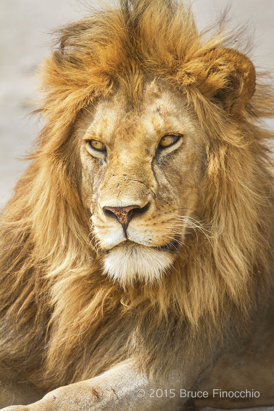 Piercing Eyes Of A Male Lion