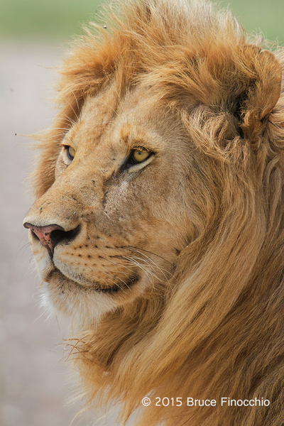 Red Devil, Young Male Lion Of The Serengeti by...