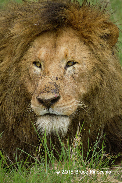 The Scarred Face Of A Male Lion by BruceFinocchio