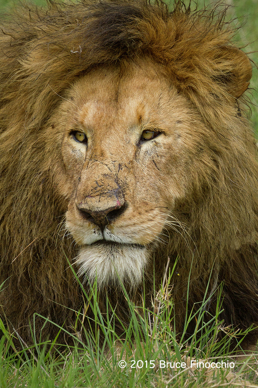 The Scarred Face Of A Male Lion