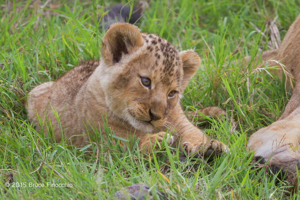 Young Lion Cub Looks Inquiringly At Beside Mother by...