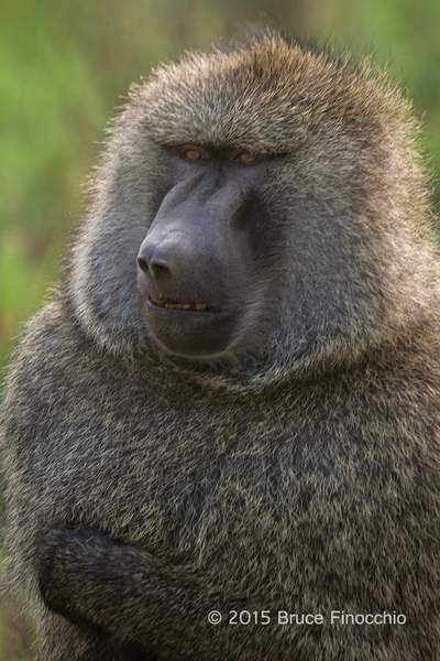 Male Baboon Looks Out At His Troop