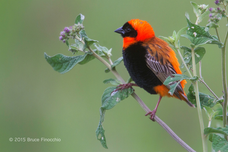 Male Southern Red Bishop Peeks Out of The Green Bushes
