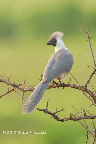 Bare-face Go-Away-Bird Looking Out Across The Savanna by...