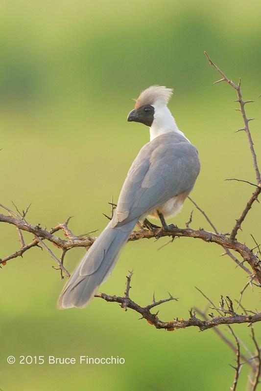 Bare-face Go-Away-Bird Looking Out Across The Savanna