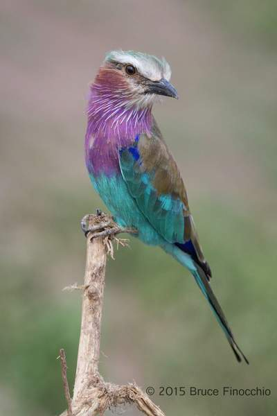 Lilac breasted Roller Poses