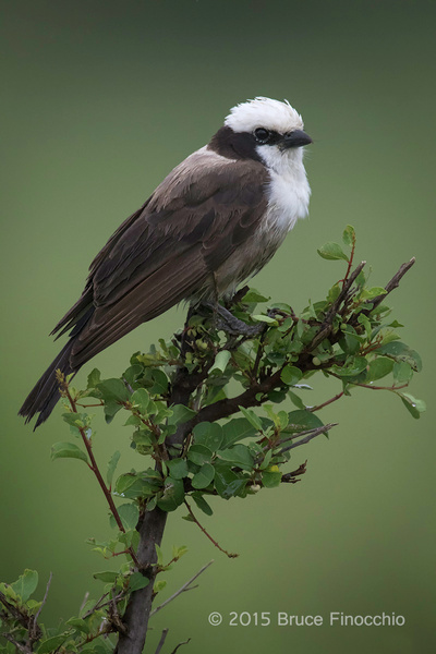Northern White-crowed Shrike Portrait by BruceFinocchio