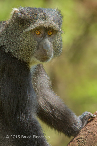 Intense Stare Of A Blue Monkey by BruceFinocchio