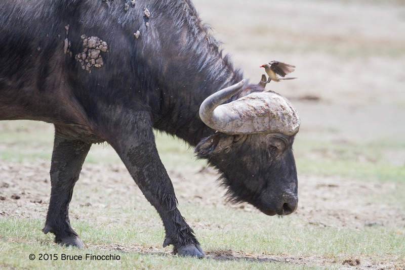 Red-billed Oxpecker Prepares To Land On A Bull Cape Buffalo