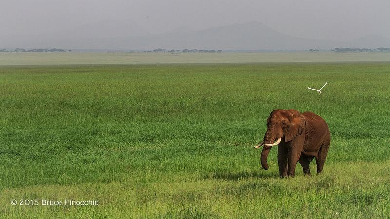 Bull  Elephant Feeds Along Edge Of Lormaku Swamp