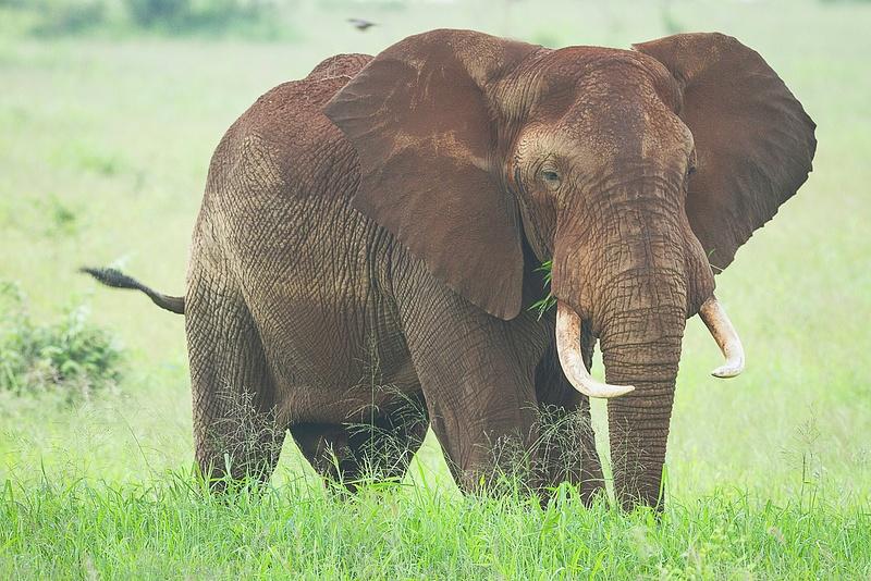 Bull Elephant Eats Fresh Green Grass